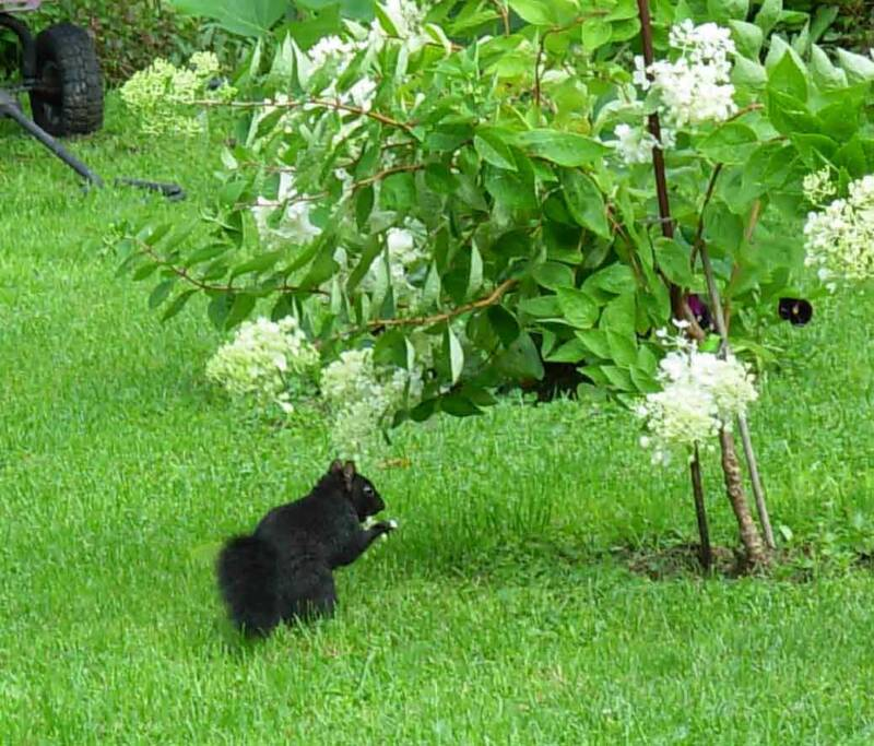 Strange critter, this black squirrel.  First time for me and most of the other visitors to Lily Dale.  Not so rare I found out.