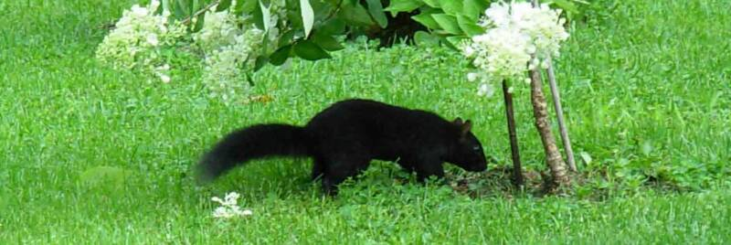 Same black squirrel.